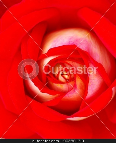 red rose    stock photo, a close-up of a red rose    by Vitaliy Pakhnyushchyy