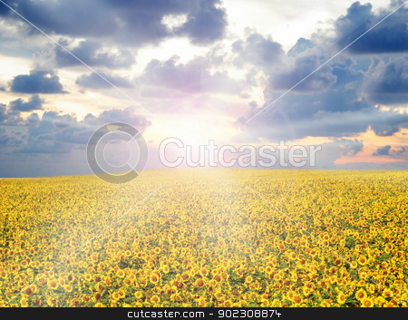 sunflower field stock photo, sunflower field over cloudy blue sky by Vitaliy Pakhnyushchyy