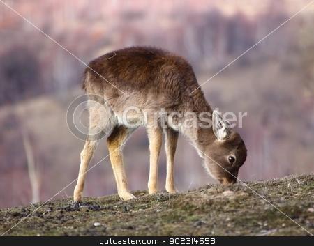 fallow deer calf grazing stock photo, fallow deer calf ( dama dama ) grazing in the field the scarce winter grass by coroiu octavian