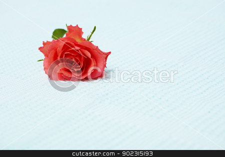 Lone red rose on blue towel stock photo, Lone red rose on the surface of a blue towel by Alexey Romanov