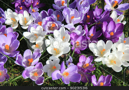 purple and white crocuses in a field stock photo, Crocuses in various shades of purple and white in a field by Porto Sabbia