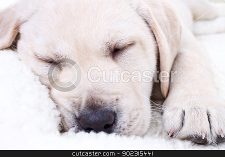 Puppy Sleeping stock photo, Close up of Labrador retriever puppy dog sleeping on white bed by Stephanie Zieber