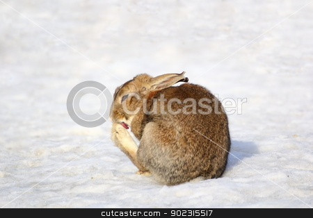 fat rabbit stock photo, fat funny rabbit cleaning its paw in snow by coroiu octavian