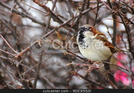 male sparrow singing stock photo, male sparrow singing alone on a leafless bush by coroiu octavian
