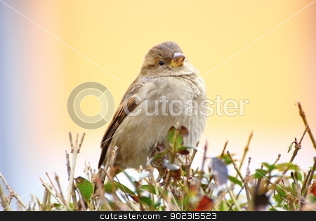 sparrow on a bush stock photo, female sparrow standing on a bush over colorful defocused background by coroiu octavian