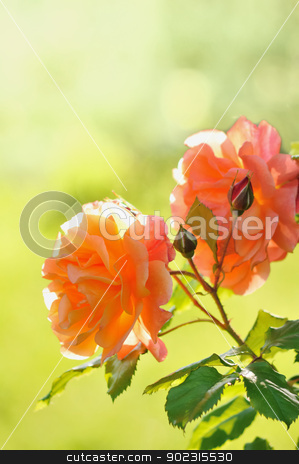 Roses in Garden stock photo, Roses in Garden with Green Blurred Background by zagart