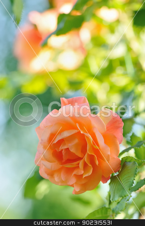 Rose in Garden stock photo, Roses in Garden with Natural Blurred Background by zagart