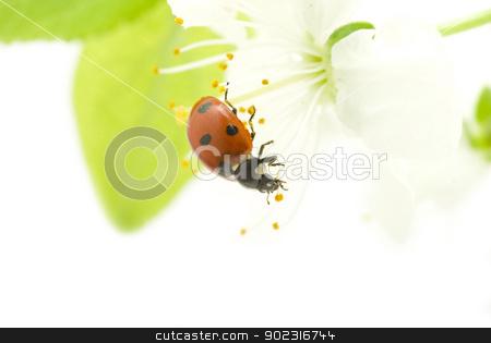 red ladybug  stock photo,   red ladybug on green grass isolated by Vitaliy Pakhnyushchyy