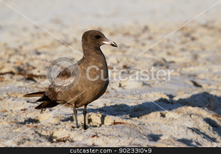 Brown Seagull stock photo, A California brown seagull on the beach with sand. by Henrik Lehnerer