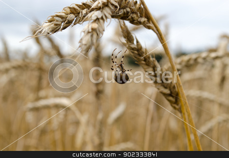 four-spot orb-weaver spider web wheat ears  stock photo, four-spot orb-weaver araneus quadratus spider on web between wheat ears.  by sauletas
