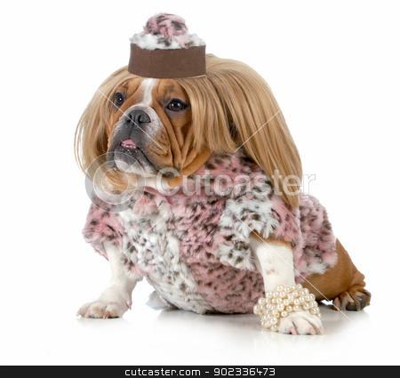 female bulldog stock photo, female bulldog wearing blonde wig and fur coat isolated on white background by John McAllister