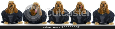 sports hound stock photo, sports hounds - line up of cocker spaniels wearing football jerseys isolted on white background by John McAllister