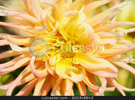 Yellow Dahlia Macro deer dof stock photo, Close up of a Yellow and Red Dahlia with wild petals by bobkeenan