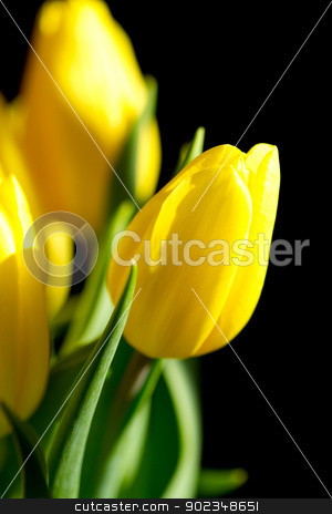 Yellow tulips on black background stock photo, Pretty bunch of yellow tulips isolated on a black background by Jennifer Solpietro