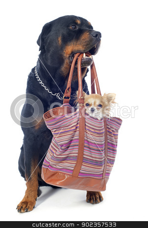 rottweiler and chihuahua in a bag stock photo, portrait of a purebred rottweiler and  chihuahua in a bag  in front of white background by Bonzami Emmanuelle