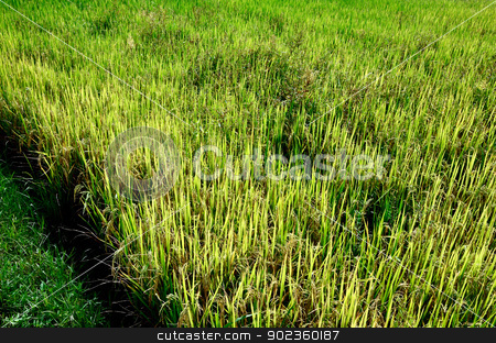 Rice in the farm, Agriculture concept stock photo, Organic rice in the farm, Thailand by pixbox77