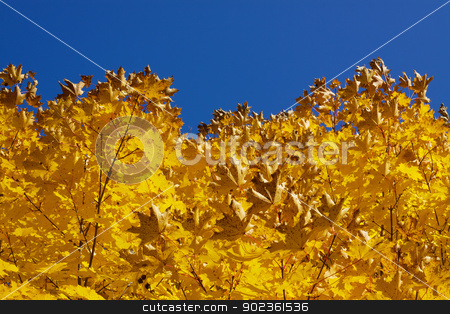 Yellow autumn leaves stock photo, Bright yellow autumn leaves contrasting with clear blue sky by Harvepino