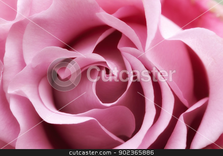 soft pink rose stock photo, beautiful and perfect soft pink rose flower by Phil Morley