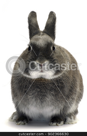 portrait of a dwarf rabbit stock photo, portrait of a dwarf rabbit in studio on white background                                 by Paire