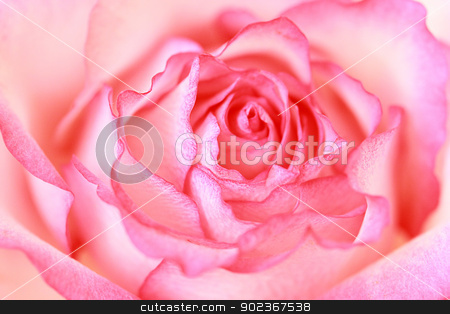 Beautiful, pink rose close up  stock photo, Beautiful, pink rose close up, background  by Juliet Photography