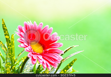 Pink gerbera. stock photo, Pink gerbera on green background. by chatchai