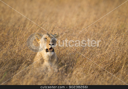 Lioness stock photo, Lioness looking for prey, Masai Mara National Reserve, Kenya Eastern Africa by mdphot