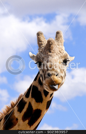 Portrait of a Giraffe stock photo, Portrait of a giraffe with his tongue stickingout by Bonnie Fink