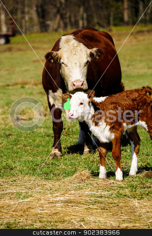 Mother Cow and Calf in a Meadow stock photo, Mother cow and calf in a green meadow by Bonnie Fink
