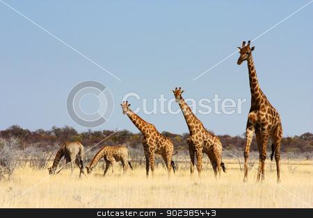 Group of giraffes stock photo, Namibian wild life, Etosha park, dry season by Paolo Gallo