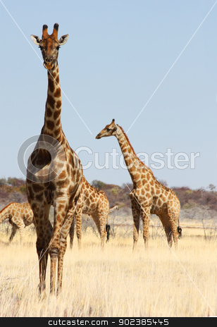 Group of giraffes stock photo, Namibian wild life, Etosha park, dry season by Paolo Gallo
