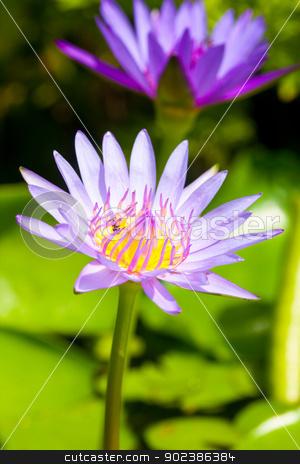 Lotus flower stock photo, Lotus flower by iroomm