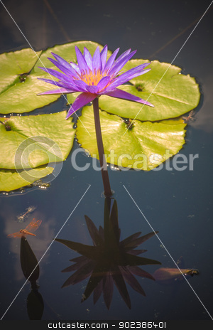 Lotus flower stock photo, Lotus flower by iroomm