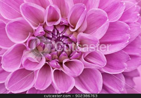 Flower purple chrysanthemum close up stock photo, Flower purple chrysanthemum close up - floral background by Alexey Romanov