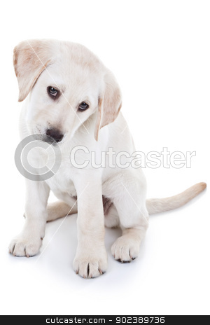 Puppy stock photo, Cute Labrador retriever puppy dog sitting and looking at camera - on white background by Stephanie Zieber