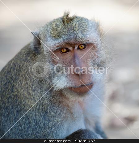 Monkey - macaca fascicularis stock photo, Portrait of wild adult monkey - Macaca fascicularis by Alexey Romanov