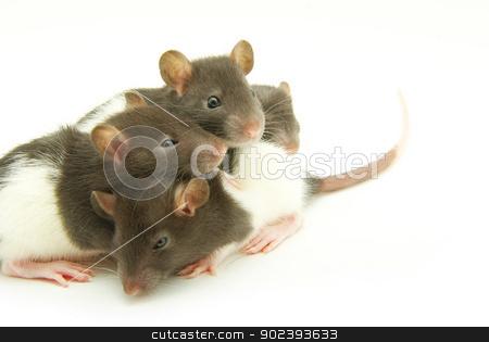 rats   stock photo, funny rats  isolated on white background by Vitaliy Pakhnyushchyy