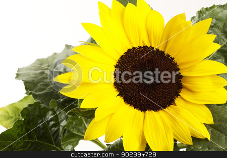 one sunflower with leafes on white background stock photo, one sunflower with leafes on white background by Rob Stark