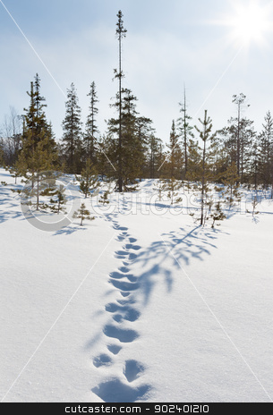 Footprints in the snow in winter forest stock photo, Footprints in the snow in winter forest on the bright spring sun by Ruslan Kudrin