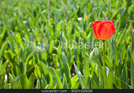 Spring tulips impregnated by the sun stock photo, Selection of tulips filled by the sun. All flowers have turned heads to light by Paolo Gallo
