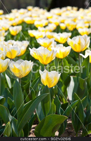 Tulips - Jaap Groot varieties stock photo, Cultivation of Darwin Hybrid Tulip Jaap Groot: yellow and white bicolor, perennial group by Paolo Gallo