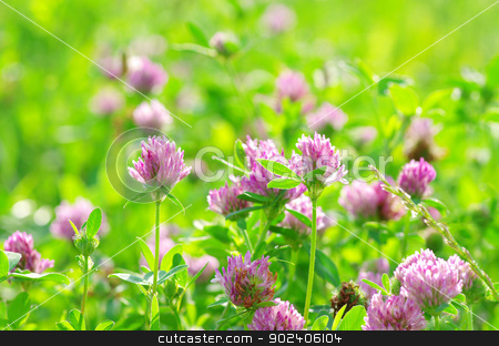 clovers  stock photo, red flower clovers on green background by Vitaliy Pakhnyushchyy