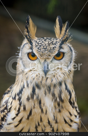 Eagle Owl Portrait stock photo, Eagle Owl looking at the camera by MihaiDancaescu
