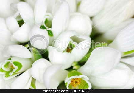 snowdrop flowers  stock photo, Spring snowdrop flowers  closeup background by Vitaliy Pakhnyushchyy
