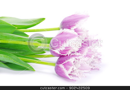 pink tulips  stock photo, pink tulips on white background  by Vitaliy Pakhnyushchyy