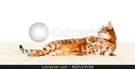 Bengal cat resting on bed stock photo, Young bengal cat or kitten lying back and resting on bed or cushion by Steven Heap