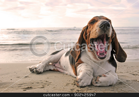 yawning basset hound stock photo, yawning puppy purebred basset hound on a beach by Bonzami Emmanuelle