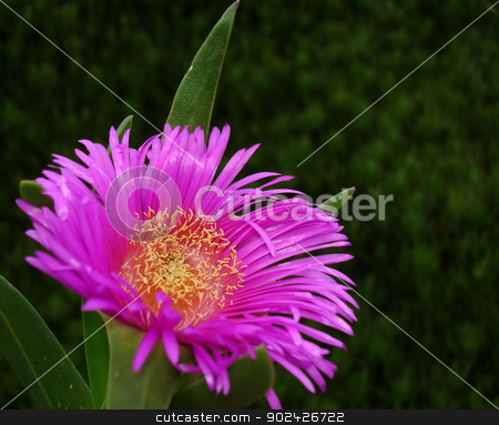 Pink flower stock photo, Pink flower close up by GPimages