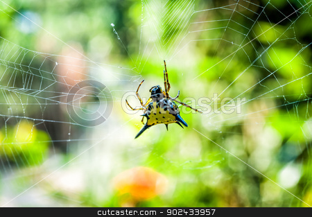Hasselt's Spiny Spider on cobweb stock photo, Hasselt's Spiny Spider on cobweb with bokeh background by moggara12
