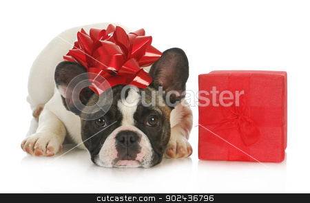 dog and present stock photo, dog and present - french bulldog with red bow on head laying beside red gift box on white background by John McAllister