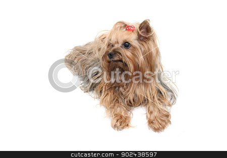 yorkshire stock photo, nice dog yorkshire on the white background by Jiri Vaclavek